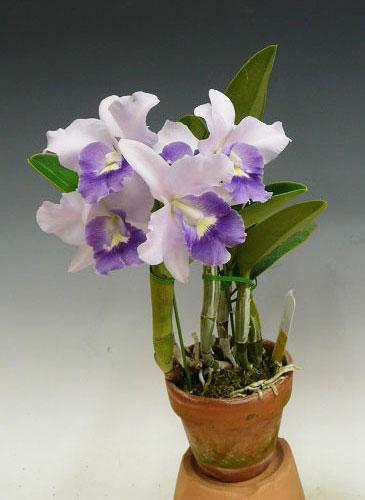 Laeliocattleya Final Blue 'Royal Purple' (Lc. Blue Dynasty x C.walkeriana)