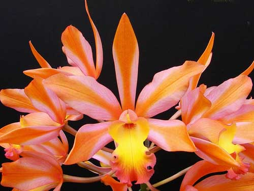 Laeliocattleya Magic Bell 'New Trick'