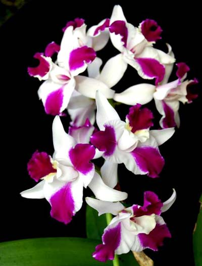 Laeliocattleya Purple Cascade 'Fragrance Beauty' (Interglossa x Tokyo Magic)