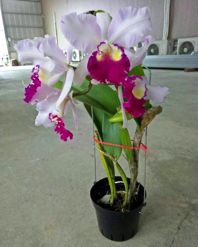 Laeliocattleya Taiwan Beauty