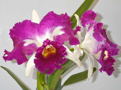 Laeliocattleya White Spark 'Fire Cat'