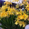 Laeliocattleya Yellow Bird 'Venice'