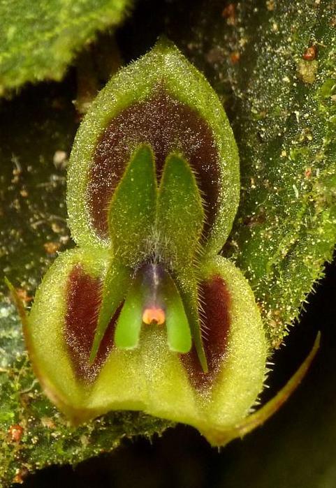 Lepanthes dodsonii