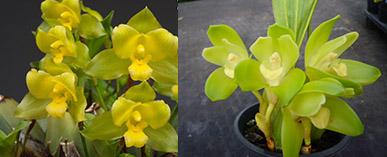Lycamerlycaste Procyon (campbellii x nana)
