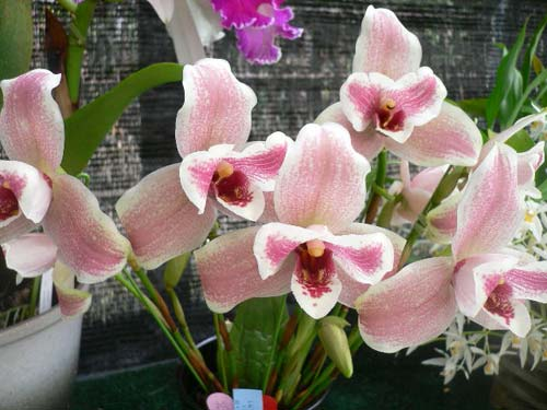 Lycaste Strawberry Fizz (tricolor x Shoalhaven Miss Shonan )