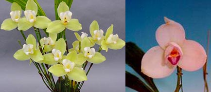 Lycaste Takaragaike (Spectabilis 'Green Pearl' x Shoalhaven 'Kobe')