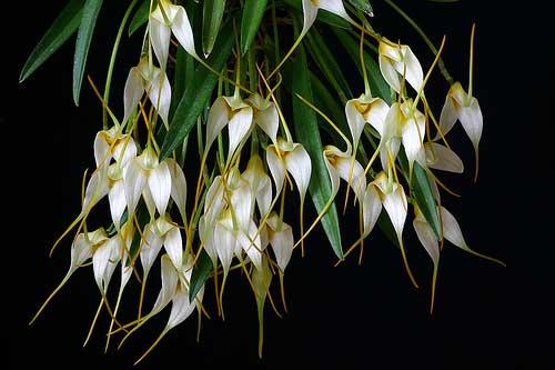 Masdevallia leucantha