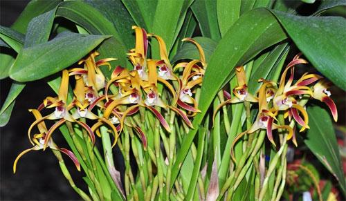 Maxillaria callichroma