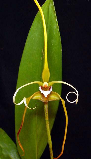 Maxillaria fractiflexa