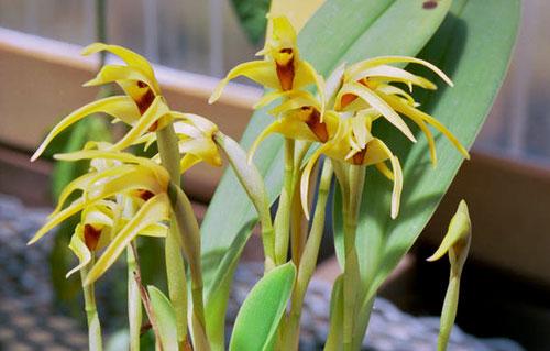 Maxillaria lindleyana