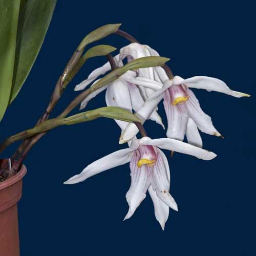 Maxillaria platypetala