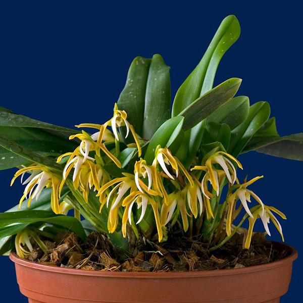 Maxillaria pseudoreichenheimiana
