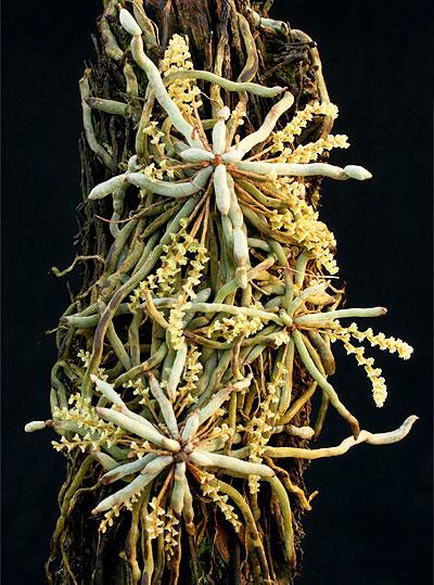 Microcoelia species
