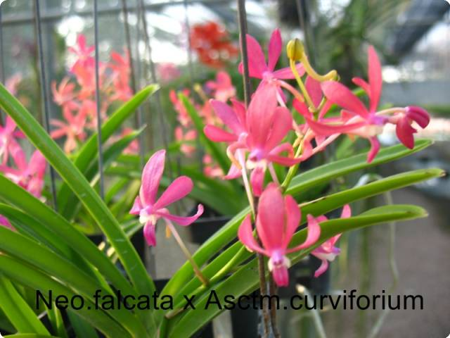 Neofinetia falcata x Ascocentrum curvifolium