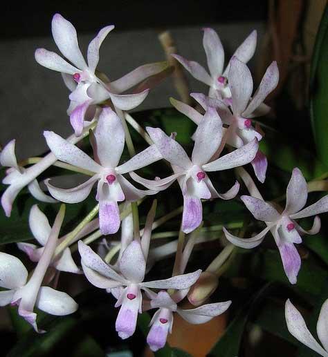 Neofinetia falcata x Rhynchostylis retusa