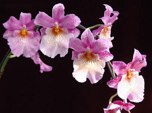 Odontonia Papageno 'Lavender Lady'
