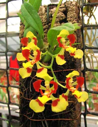 Oncidium coloratum