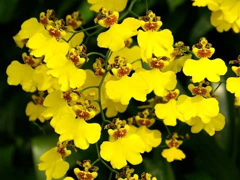 Oncidium Gower Ramsey 'Lemon Heart'