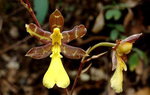 Oncidium graminifolium