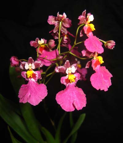 Oncidium Red Mini 'CT Little Cherry'