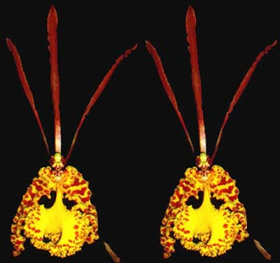 Oncidium sanderae