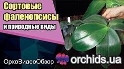 Фаленопсис (Phalaenopsis). Сортовые и природные виды.