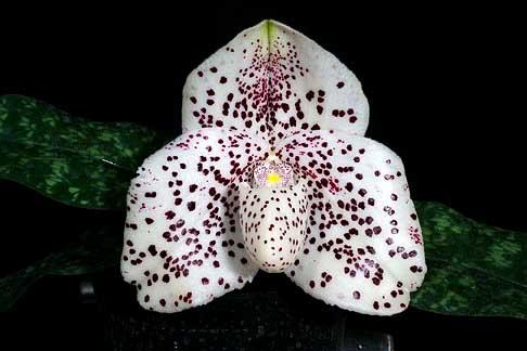Paphiopedilum bellatulum x wenshanense