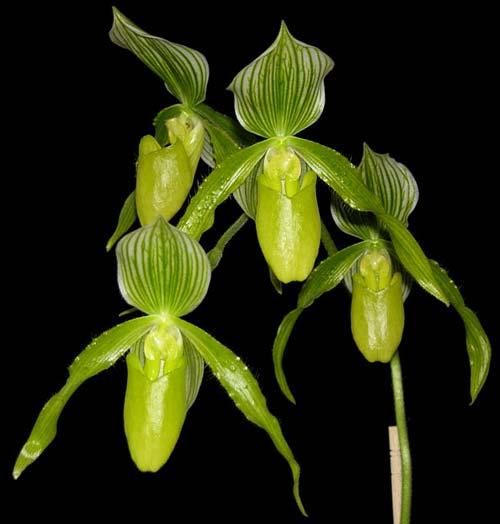 Paphiopedilum Alma Geveart 'Hager's' x Paphiopedilum philippinense var. alba 'Kou'