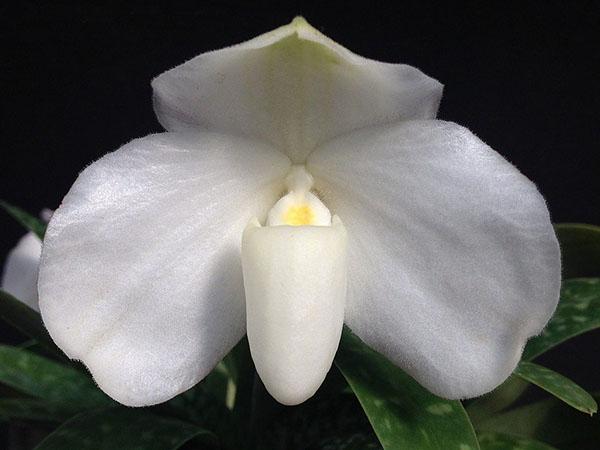 Paphiopedilum ang thong alba