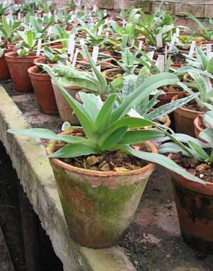 Paphiopedilum (Avalon Mist x pineapple Thai papilio) x philippinense