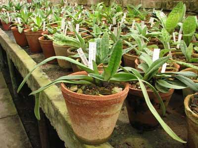 Paphiopedilum bellatulum 'Good Dorsal' x Paphiopedilum villosum 'Naeshan'