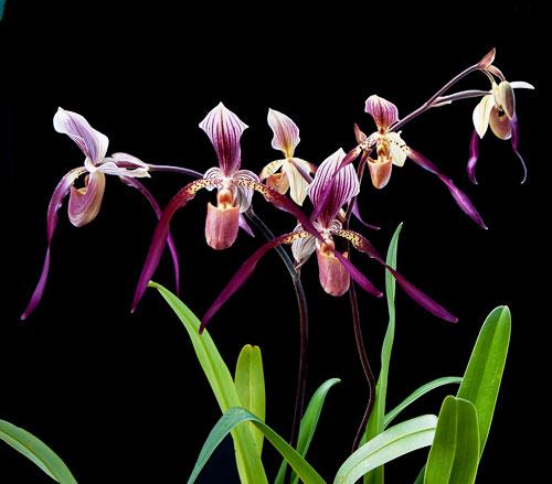 Paphiopedilum Berenice (lowii x philippinense)