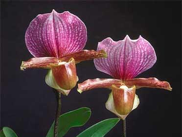 Paphiopedilum charlesworthii