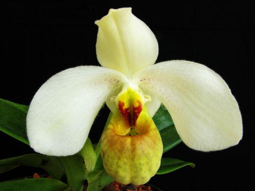 Paphiopedilum concolor x emersonii