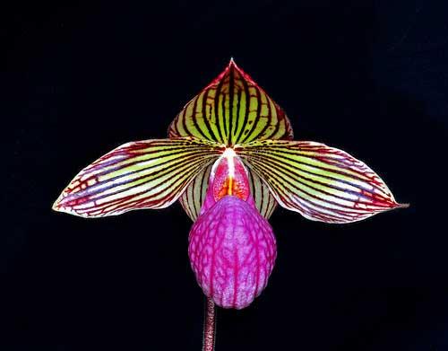 Paphiopedilum rothschildianum x micranthum