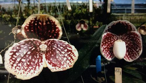 Paphiopedilum godefroyae P747