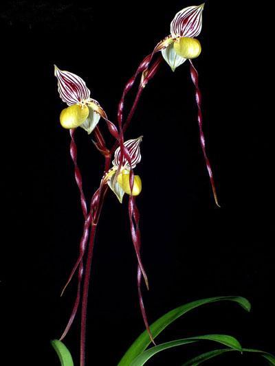 Paphiopedilum philippinense Doll