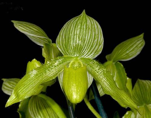 Paphiopedilum Somers Isles 'Green Bird' x Paphiopedilum philippinense var. album 'Charming'