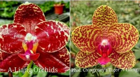 Phalaenopsis AL Sun Hannover 'Red' x Chingruey's Tiger