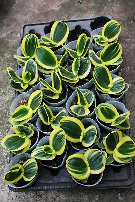 Phalaenopsis amabilis variegated