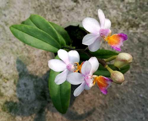 Phalaenopsis Anna-Larati Soekardi 'Little Ear'