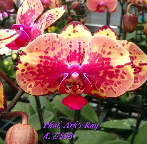 Phalaenopsis Ark's Ray