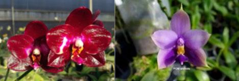Phalaenopsis Ba-Shi Blackspot x Samera 'blue'