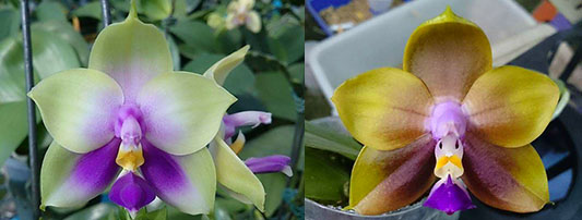 Phalaenopsis bellina 'B-1' x Mituo Princess 'B'