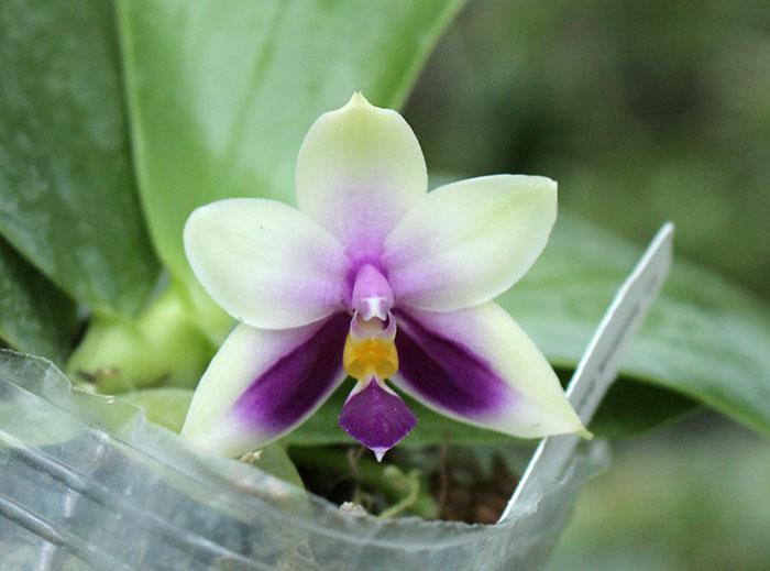 Phalaenopsis bellina blue