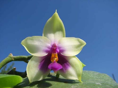 Phalaenopsis bellina big size