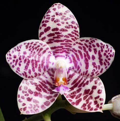 Phalaenopsis Brother Glory 'G-12'