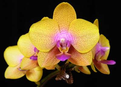 Phalaenopsis Brother Sara Gold