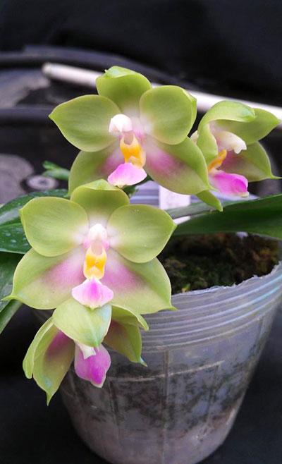 Phalaenopsis Buena Jewel x Phalaenopsis Penang Girl