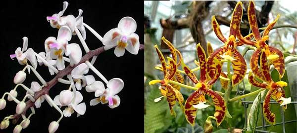 Phalaenopsis celebensis x mannii